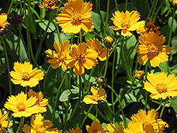 Dwarf Tickseed (Coreopsis auriculata 'Nana') at Martin's Home and Garden