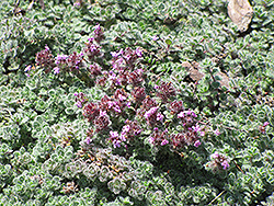 Wooly Thyme (Thymus pseudolanuginosis) at Martin's Home & Garden