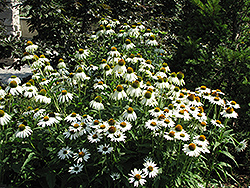 White Swan Coneflower (Echinacea purpurea 'White Swan') at Martin's Home & Garden