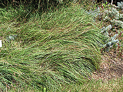 Blue Sedge (Carex flacca) at Martin's Home & Garden