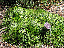 The Beatles Spring Sedge (Carex caryophyllea 'The Beatles') at Martin's Home and Garden