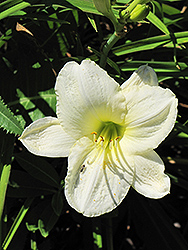 Joan Senior Daylily (Hemerocallis 'Joan Senior') at Martin's Home & Garden