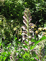 Bear's Breeches (Acanthus spinosus) at Martin's Home & Garden