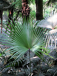 Chinese Fan Palm (Livistona chinensis) at Martin's Home & Garden