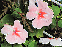 Super Elfin® XP Salmon Splash Impatiens (Impatiens walleriana 'Super Elfin XP Salmon Splash') at Martin's Home & Garden