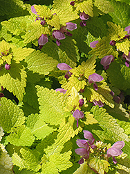 Golden Spotted Dead Nettle (Lamium maculatum 'Aureum') at Martin's Home & Garden