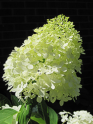 Limelight Hydrangea (Hydrangea paniculata 'Limelight') at Martin's Home and Garden