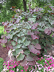 Forest Pansy Redbud (Cercis canadensis 'Forest Pansy') at Martin's Home and Garden
