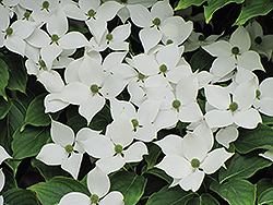 Chinese Dogwood (Cornus kousa 'var. chinensis') at Martin's Home & Garden