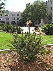 Orange Bird Of Paradise (Strelitzia reginae) at Martin's Home & Garden
