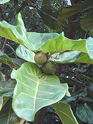 Fiddle Leaf Fig (Ficus lyrata) at Martin's Home & Garden