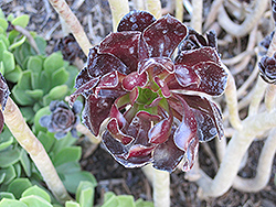 Purple Stonecrop (Aeonium arboreum 'var. atropurpureum') at Martin's Home and Garden