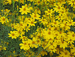 Zagreb Tickseed (Coreopsis verticillata 'Zagreb') at Martin's Home and Garden