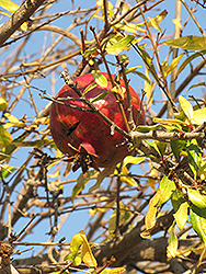 Pomegranate (Punica granatum) at Martin's Home and Garden