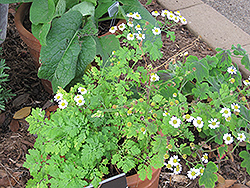 Feverfew (Tanacetum parthenium) at Martin's Home and Garden