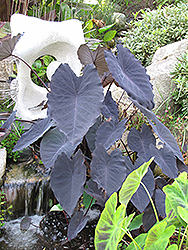 Black Magic Elephant Ear (Colocasia esculenta 'Black Magic') at Martin's Home and Garden