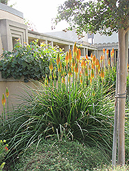 Torchlily (Kniphofia natalensis) at Martin's Home and Garden