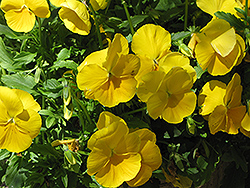 Venus Yellow Pansy (Viola x wittrockiana 'Venus Yellow') at Martin's Home & Garden