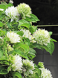 Duchess of Edinburgh Clematis (Clematis 'Duchess of Edinburgh') at Martin's Home & Garden