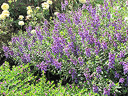 Serena Lavender Angelonia (Angelonia angustifolia 'Serena Lavender') at Martin's Home and Garden