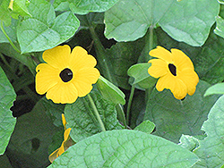 Black-Eyed Susan Vine (Thunbergia alata) at Martin's Home and Garden