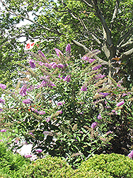 Pink Delight Butterfly Bush (Buddleia davidii 'Pink Delight') at Martin's Home & Garden