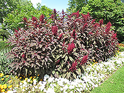 Hopi Red Dye Amaranthus (Amaranthus cruentus 'Hopi Red Dye') at Martin's Home and Garden
