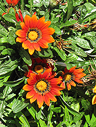 Kiss Bronze Gazania (Gazania 'Kiss Bronze') at Martin's Home & Garden