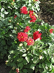 Figaro™ Red Shades Dahlia (Dahlia 'Figaro Red Shades') at Martin's Home & Garden
