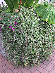 Swedish Ivy (Plectranthus forsteri 'Marginatus') at Martin's Home and Garden