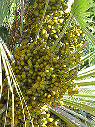 Mediterranean Fan Palm (Chamaerops humilis) at Martin's Home and Garden