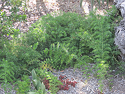 Sprengeri Asparagus Fern (Asparagus densiflorus 'Sprengeri') at Martin's Home and Garden