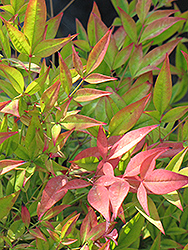 Moon Bay Dwarf Nandina (Nandina domestica 'Moon Bay') at Martin's Home and Garden