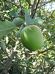 Granny Smith Apple (Malus 'Granny Smith') at Martin's Home and Garden