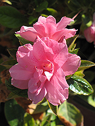 Encore® Autumn Empress™ Azalea (Rhododendron 'Conles') at Martin's Home & Garden