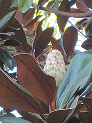 Teddy Bear® Magnolia (Magnolia grandiflora 'Southern Charm') at Martin's Home and Garden