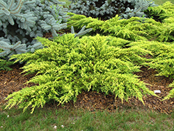 Daub's Frosted Juniper (Juniperus x media 'Daub's Frosted') at Martin's Home & Garden