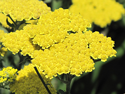 Moonshine Yarrow (Achillea 'Moonshine') at Martin's Home and Garden