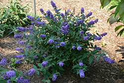 Lo And Behold® Blue Chip Dwarf Butterfly Bush (Buddleia 'Lo And Behold Blue Chip') at Martin's Home and Garden