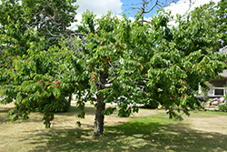 Bing Cherry (Prunus avium 'Bing') at Martin's Home and Garden