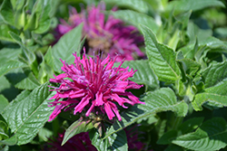 Pardon My Purple Beebalm (Monarda didyma 'Pardon My Purple') at Martin's Home & Garden