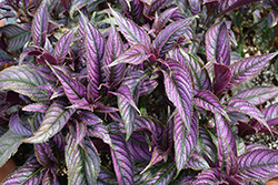 Persian Shield (Strobilanthes dyerianus) at Martin's Home & Garden