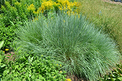 Prairie Blues Bluestem (Schizachyrium scoparium 'Prairie Blues') at Martin's Home & Garden