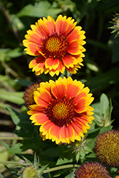 Arizona Sun Blanket Flower (Gaillardia x grandiflora 'Arizona Sun') at Martin's Home and Garden