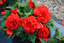 Nonstop® Red Begonia (Begonia 'Nonstop Red') at Martin's Home & Garden