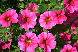 Aloha Hot Pink Calibrachoa (Calibrachoa 'Aloha Hot Pink') at Martin's Home & Garden