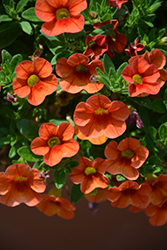 Aloha Hot Orange Calibrachoa (Calibrachoa 'Aloha Hot Orange') at Martin's Home & Garden