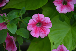 Supertunia® Mini Strawberry Pink Vein Petunia (Petunia 'Supertunia Mini Strawberry Pink Vein') at Martin's Home & Garden