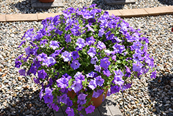 Surfinia® Heavenly Blue Petunia (Petunia 'Surfinia Heavenly Blue') at Martin's Home & Garden