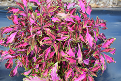 Stained Glassworks Luminesce Coleus (Solenostemon scutellarioides 'Luminesce') at Martin's Home & Garden